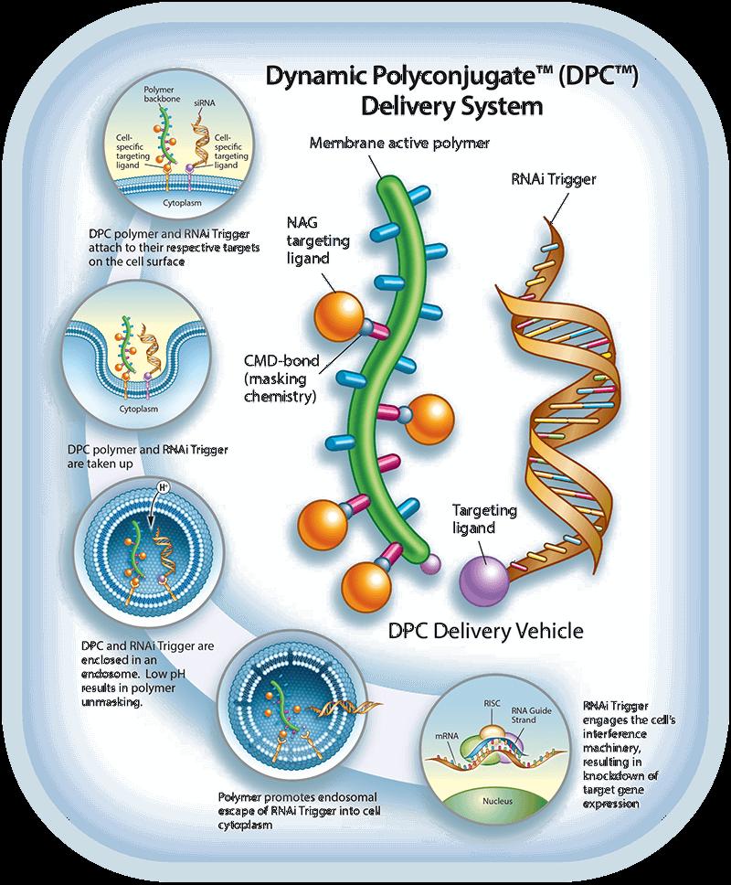 Dynamic Polyconjugate Delivery System