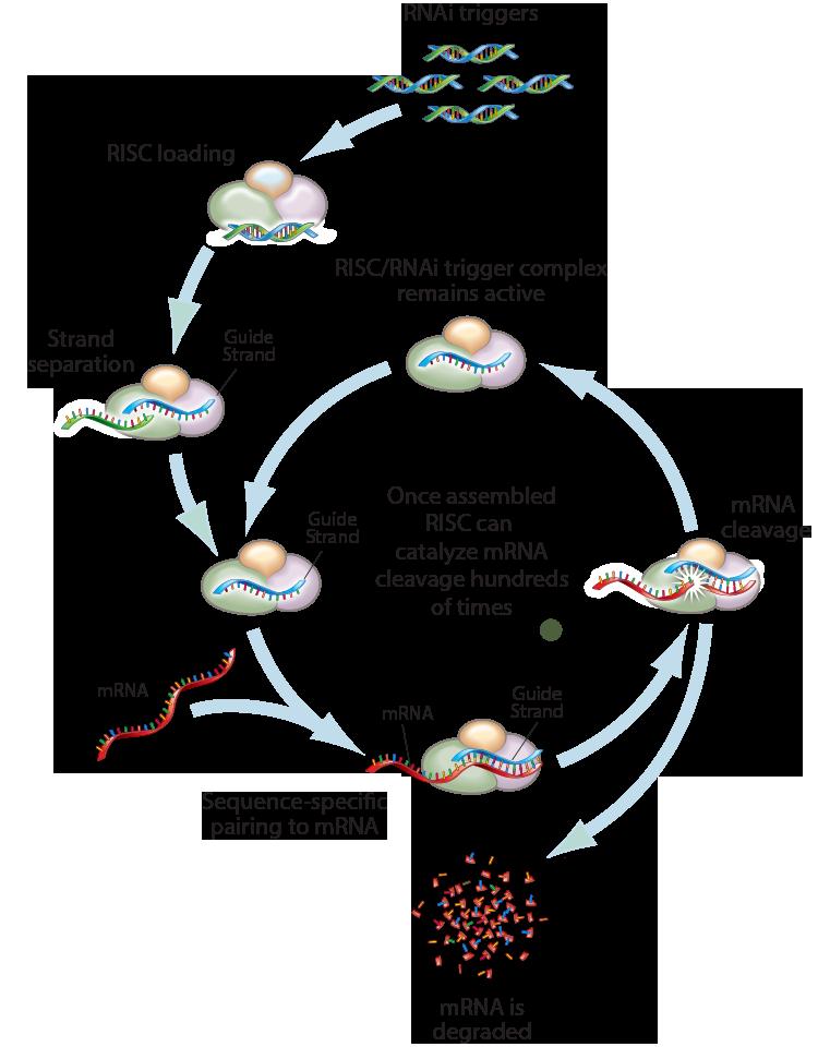 RNAi triggers